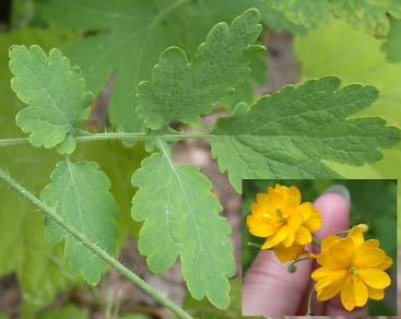 image of Double Greater Celandine, Chelidonium majus flore pleno