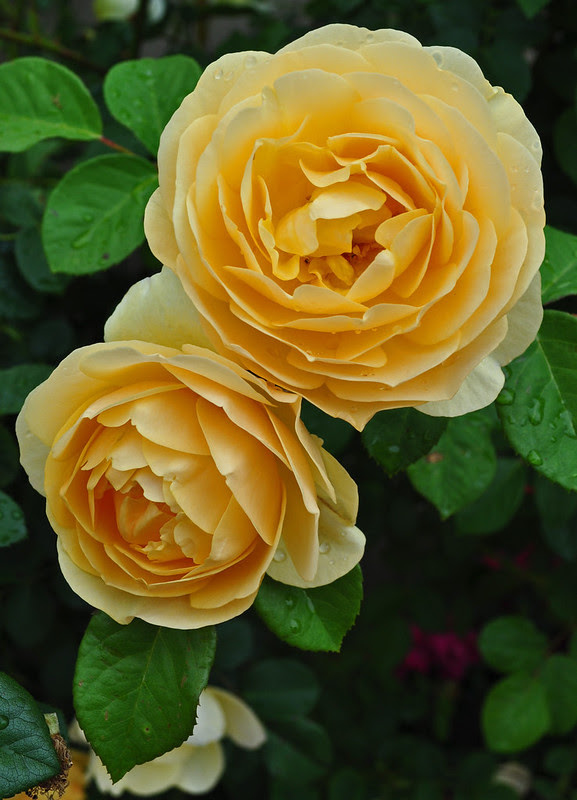 Pass House Roses (2)