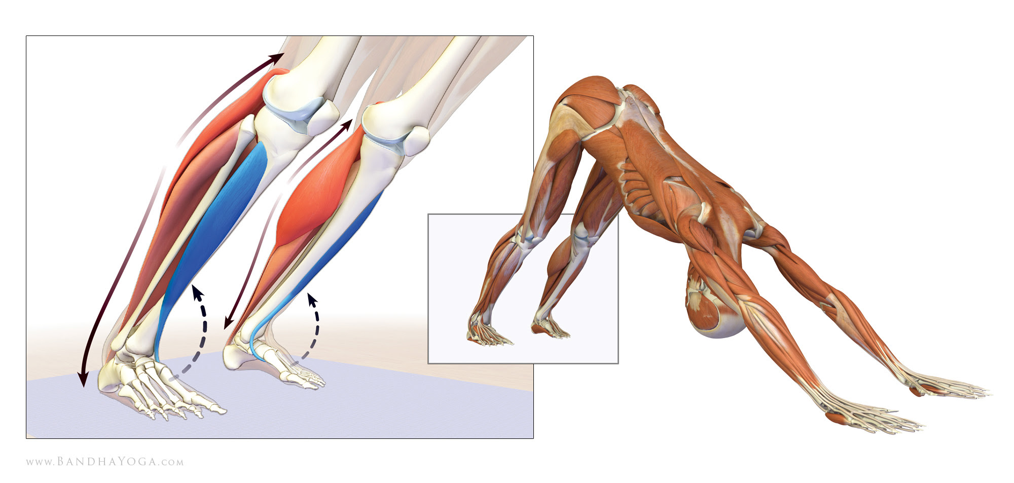 lowering the heels in downward facing dog pose