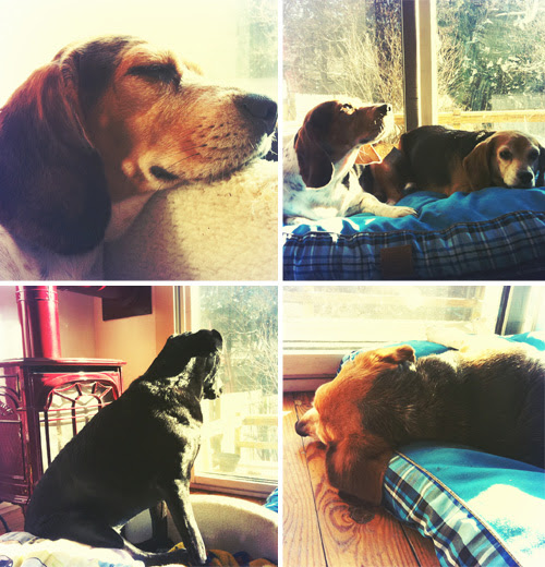 beagle-mania-monday