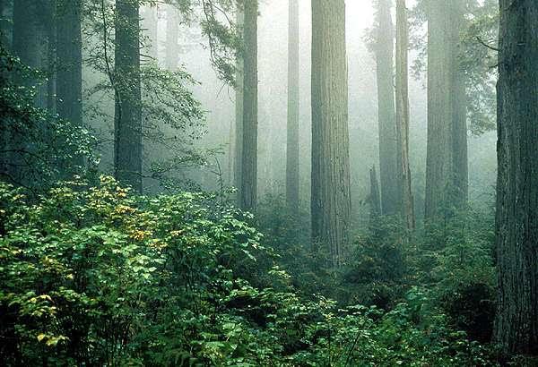 File:Redwood and fog.jpg