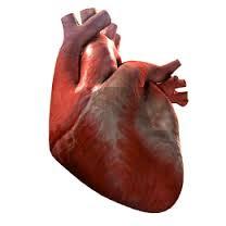 Kalp Hakkında Ilginç Bilgiler