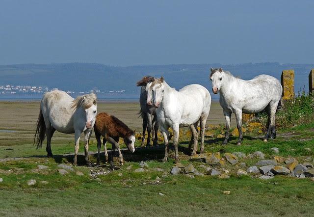 25105 - Gower Ponies