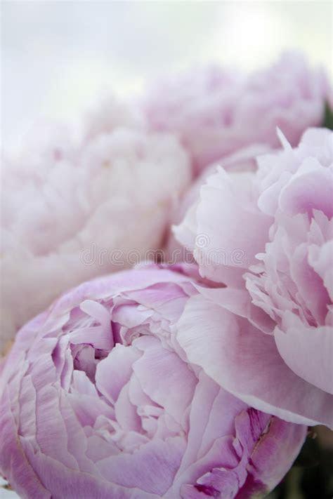 Closeup Fresh Bunch Of Pink Peonies, Peony Flowers. Card