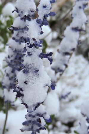 Chilled Blue Bedder