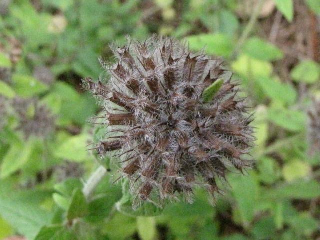 hoary mountain mint