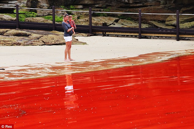 Crimson tides: In daylight the algae turned the water bright red, as seen at Sydney's Clovelly beach