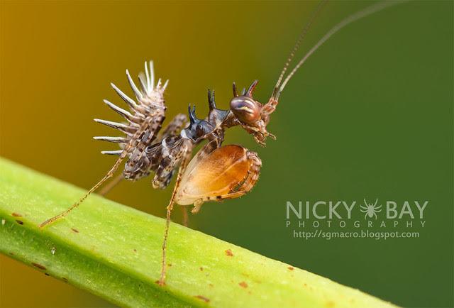Boxer Mantis nymph (Hestiasula sp.) - DSC_8047