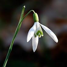 Galanthus nivalis close-up aka.jpg