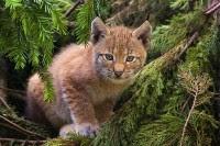 Lodjur -lynx lynx