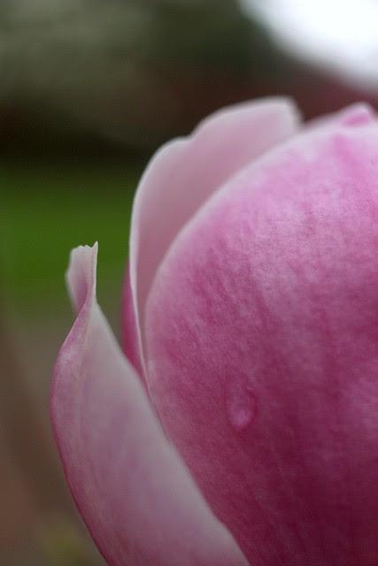 magnolia, april 2011