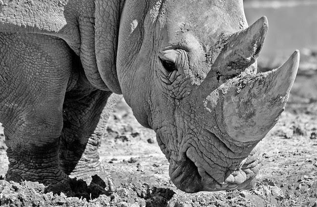 Rinoceronte byn