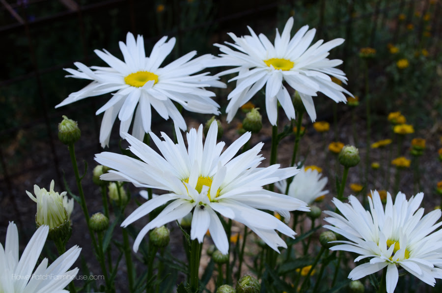Elegant petal on Daisy