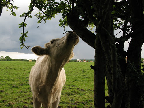 Hungry Lifford cow