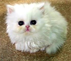 Kucing Lucu Dan Pintar