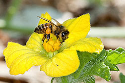 A honey bee, with pollen attached to its hind leg, pollinating a watermelon flower.