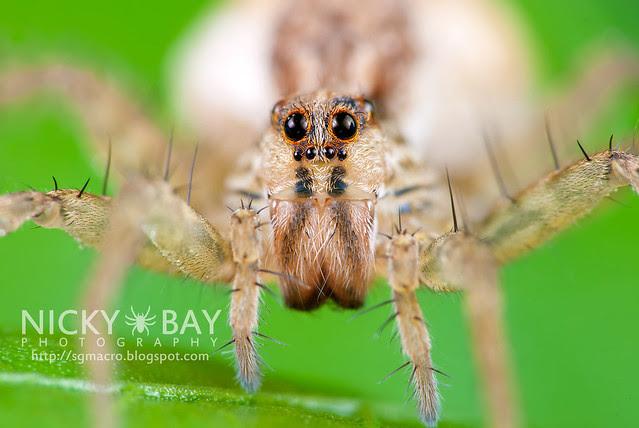 Wolf Spider (Lycosidae) - DSC_0547