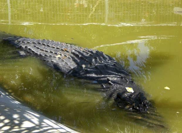 Após ser capturado, crocodilo 'Lolong' é flagrado em sua 'jaula' temporária na vila de Consuelo. (Foto: AP)