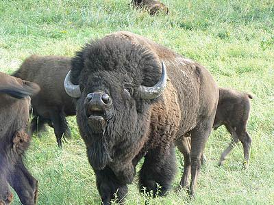 bison custer.jpg