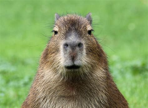 Facts About Capybaras