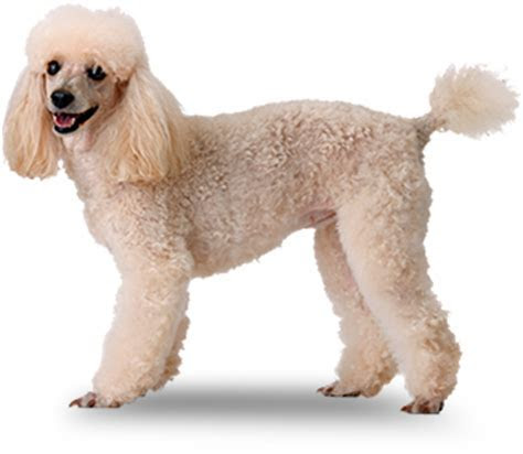 "Poodle ""Miniature""   Small Dog Breeds   Mighty Dog®"