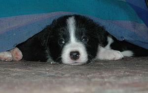 English: Basic Border Collie puppy. The photo ...