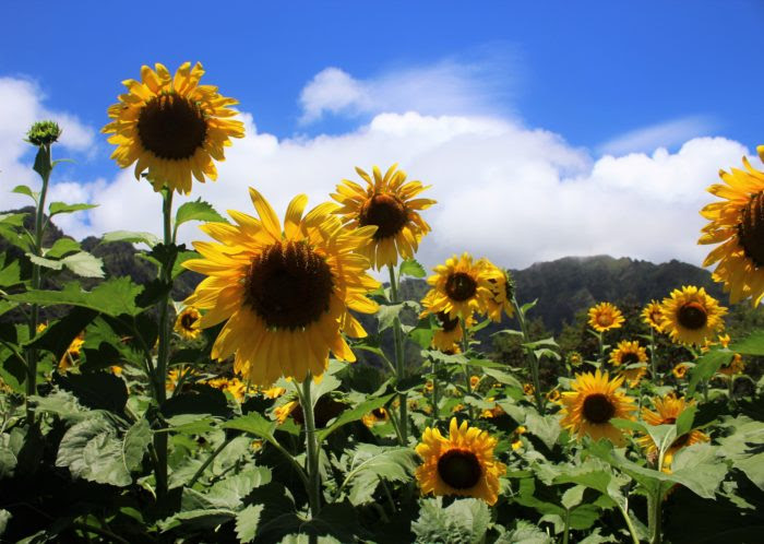 The Magical Sunflower Field Hiding In Hawaii You Must ...
