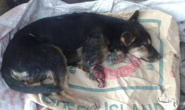 可憐的流浪狗狗,沒有家,還要遇上捕獸器變殘廢,政府對動物能否存一點愛?