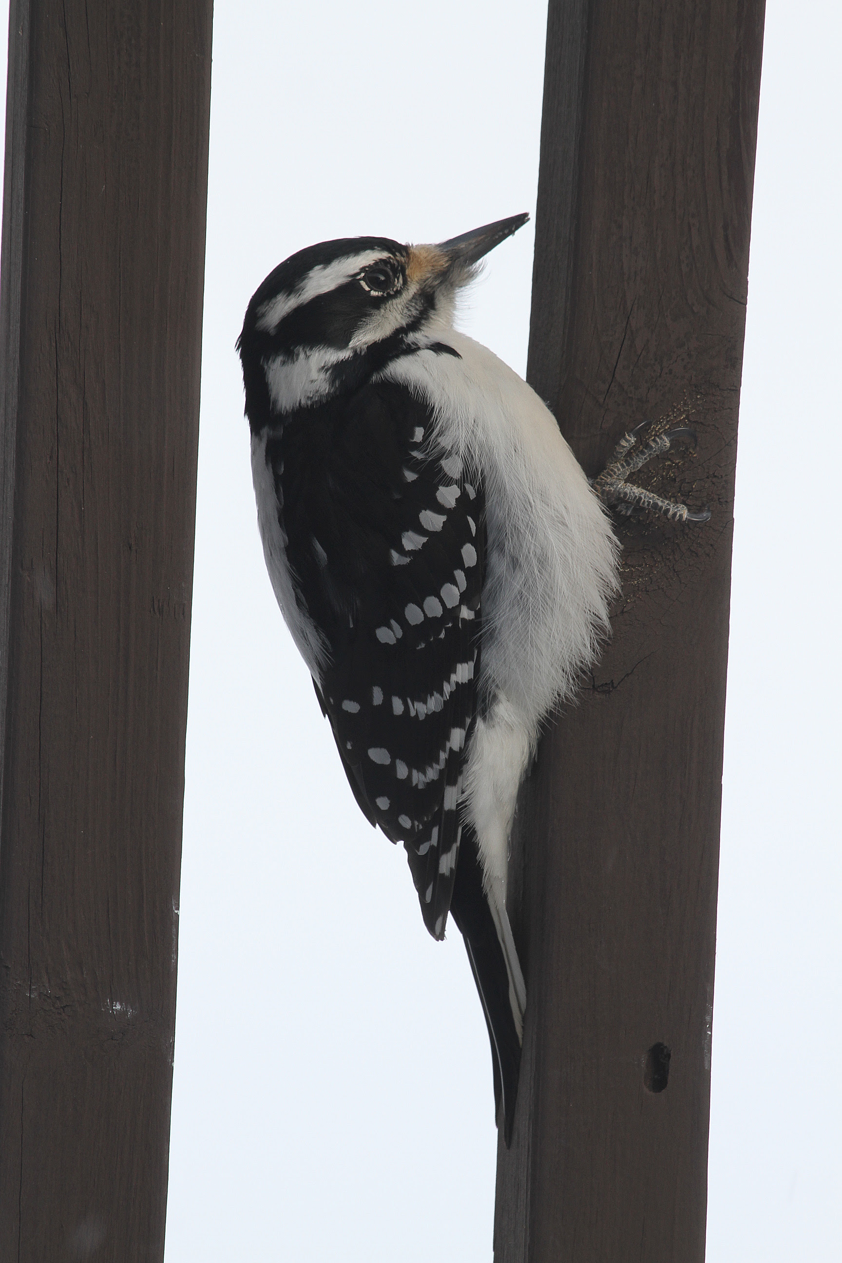 Hairy Woodpecker4
