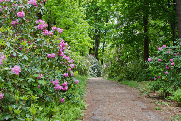 a trail lined with rhododendron