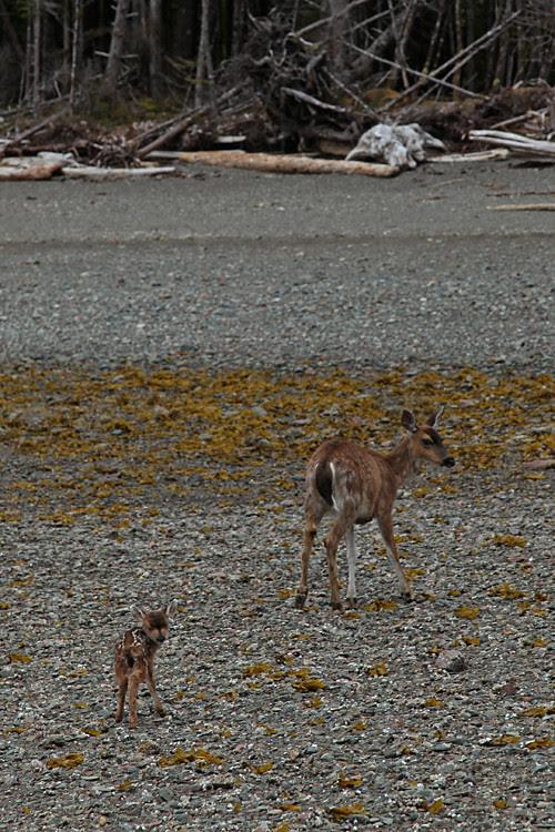 tiny fawn and mother deer on the beach, Kasaan, Alaska