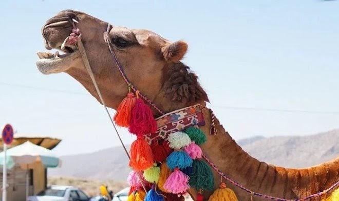 Ученые выяснили, как верблюдам удается неделями обходиться без воды