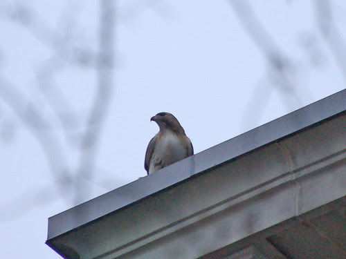 Red-Tailed Hawk on Hospital Roof