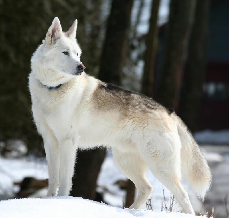 Wolf Dog Breeds Dog Breeds