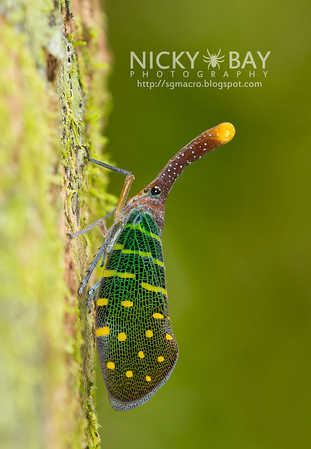 Lantern Bug (Pyrops intricata) - DSC_9255