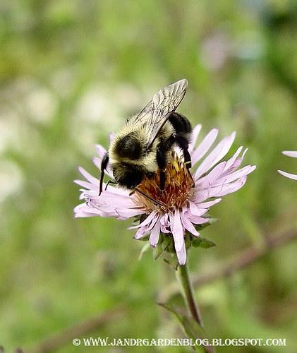 BeeAster