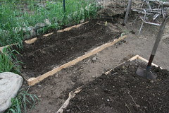 planted asparagus bed