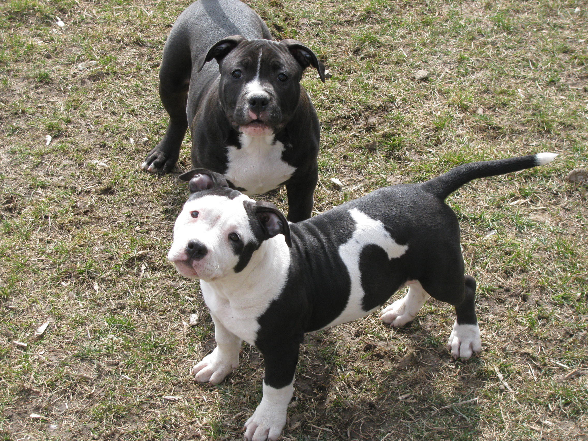 Adorable American Pit Bull Terrier For Sale In Ohio