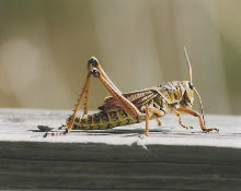 """The image """"http://www.cs4fn.org/biology/images/cricket.jpg"""" cannot be displayed, because it contains errors."""
