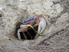 Land crab nibbling