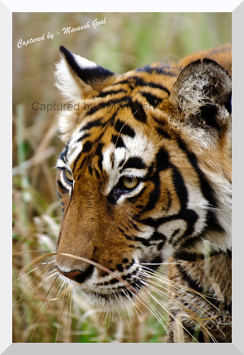 Profile of Tigress (T-17 / Sundari), Ranthambhore National Park