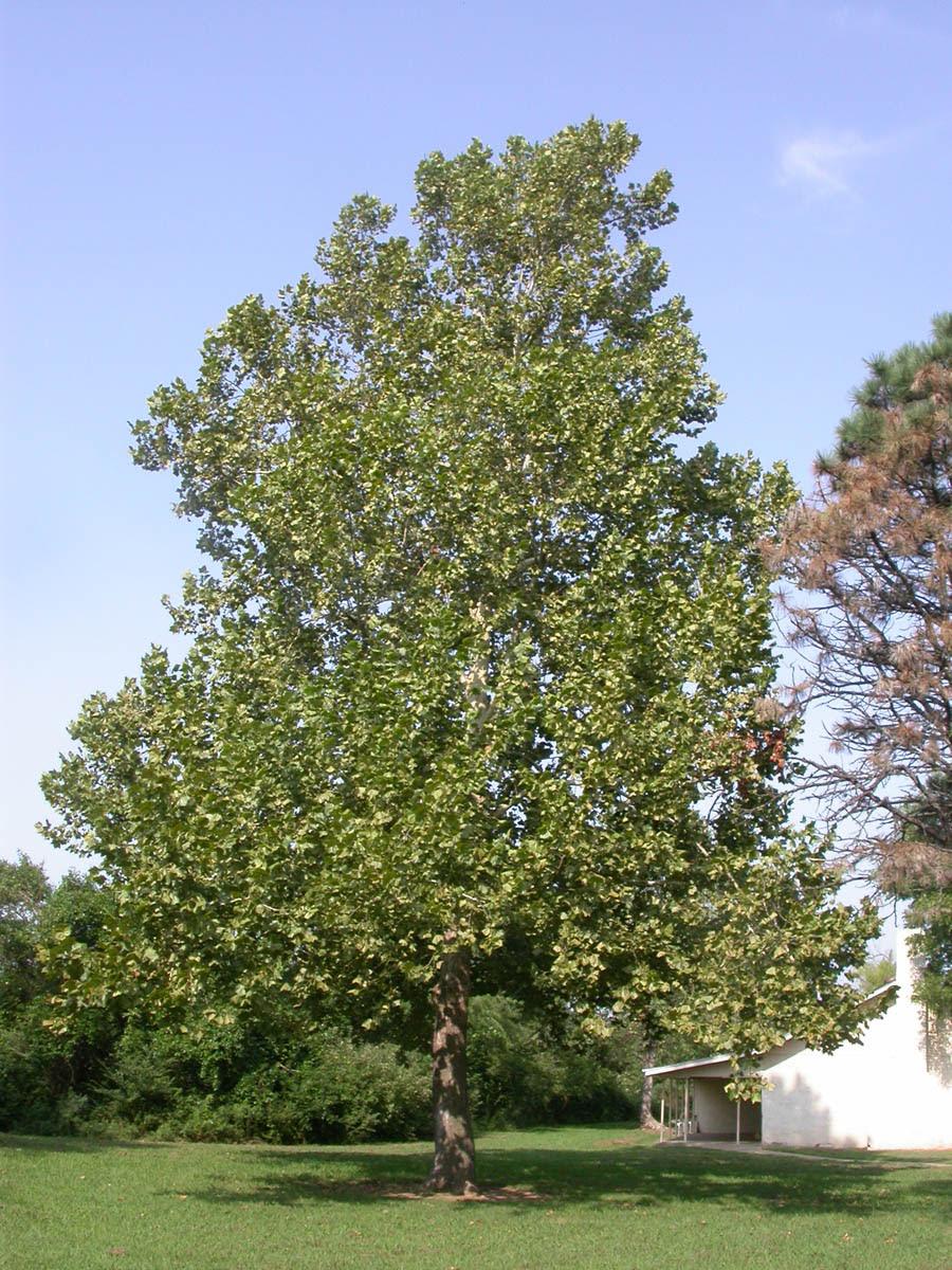 Platanaceae Platanus occidentalis