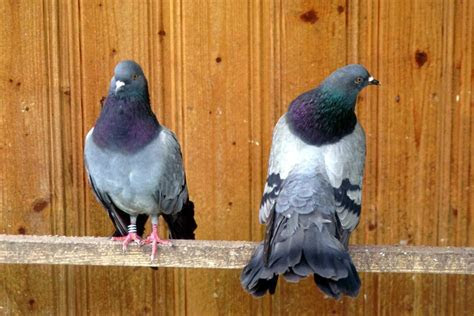gambar binatang burung dara
