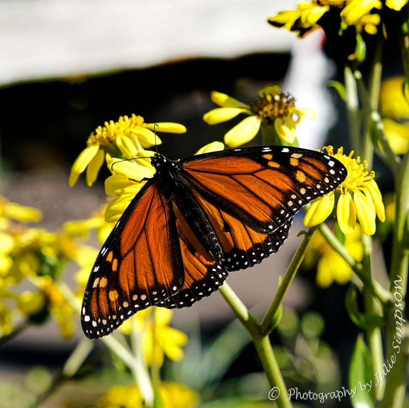 luthfiannisahay: Monarch Butterfly Life Cycle Nz