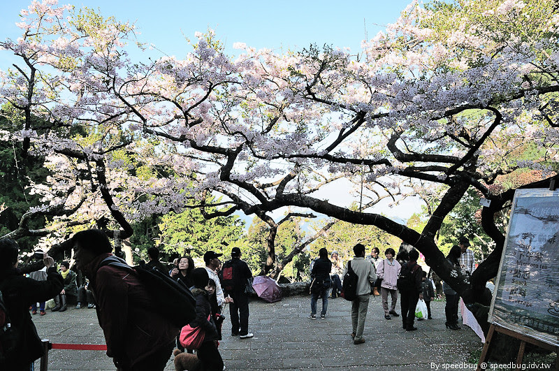 阿里山櫻花季54