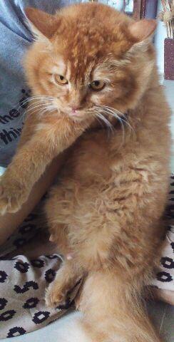Download 76+  Gambar Kucing Persia Mix Kampung Paling Keren HD