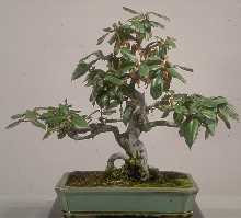 Elaeagnus pungens, bonsai