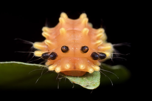 orange caterpillar IMG_8577 copy