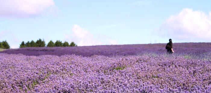 Lavender Landscapre