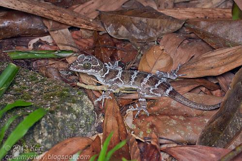 Peters' Forest Gecko (Cyrtodactylus consobrinus) IMG_2058 copy